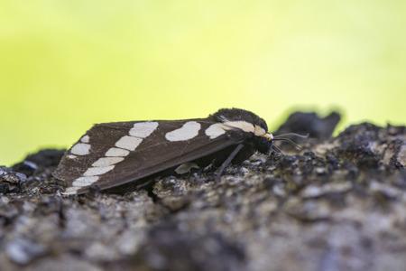Image of Moth (Nannoarctia tripartita) on tree. Insect. Animal. Stock Photo