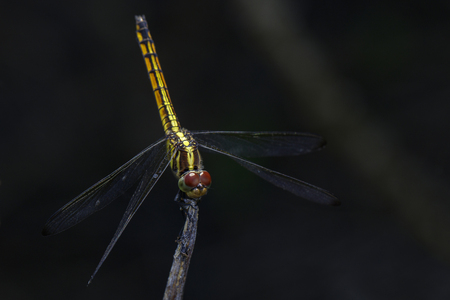 Image of crimson dropwing dragonfly(female)Trithemis aurora on a branch on nature background. Insect. Animal