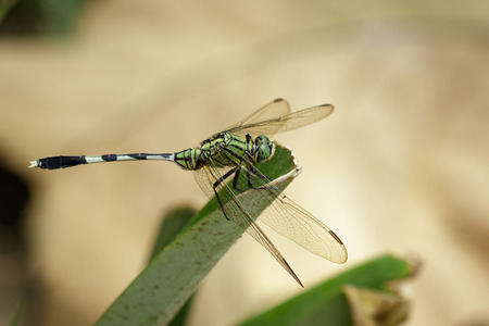 simplicicollis: Image of green skimmer dragonfly(Orthetrum sabina) on green leaves. Insect. Animal