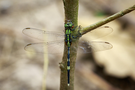 simplicicollis: Image of green skimmer dragonfly(Orthetrum sabina) on tree. Insect. Animal