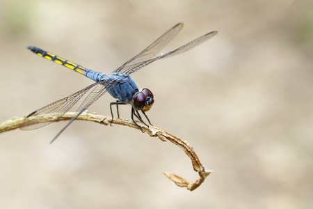 Image of Blue Chaser dragonfly(Potamarcha congner) on a branch on nature background. Insect. Animal