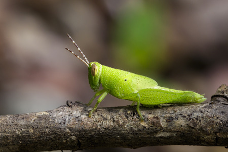 Image of Bright Green Grasshopper on a branch. Insect. Animal Stock Photo