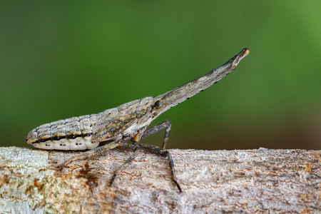 Image of lantern bug or zanna nobilis nymph on the branches on a natural background. Insect Animal. Stock Photo