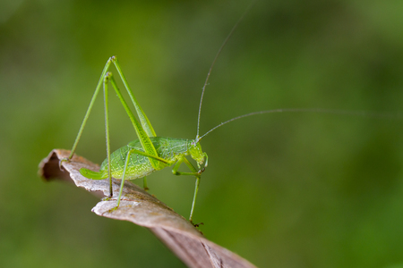 Image of family Tettigoniidae(Mirollia hexapinna) are commonly called katydids or bush-crickets on dry leaves brown. Insect. Animal Stock Photo