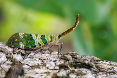 Image of fulgorid bug or lanternfly (Pyrops oculata) on nature background. Insect. Animal