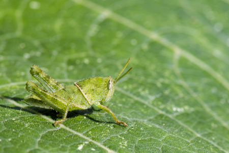 Image of Green little grasshopper on a green leaf. Insect. Animal