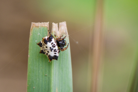 Image of Black-and-White Sspiny Spider(Gasteracantha kuhlii) on a green leaf. Insect. Animal. Stock Photo