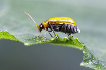 squash bug: Image of Pumpkin beetle on green leaves. Insect. Animal