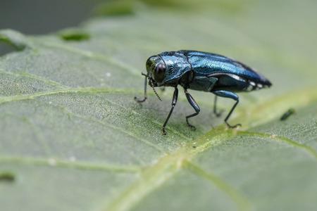 Emerald Ash Borer Beetle 녹색 잎에 이미지. 곤충. 동물 스톡 콘텐츠
