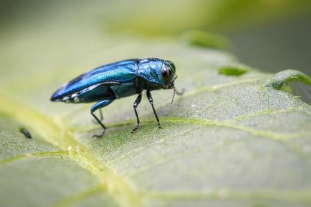 Image of Emerald Ash Borer Beetle on a green leaf. Insect. Animal Foto de archivo
