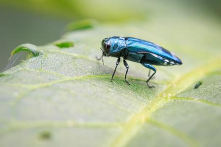 緑の葉の上のエメラルドアッシュよっビートルの画像。昆虫。動物