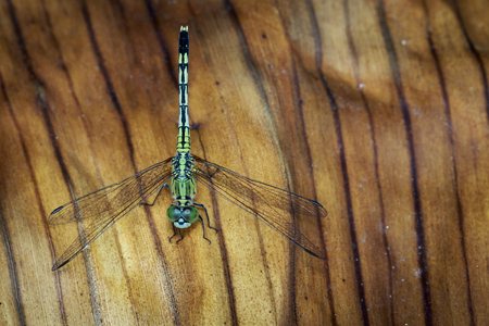 simplicicollis: Image of green skimmer dragonfly(Orthetrum sabina) on dry leaf. Insect. Animal