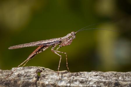 Image of Camouflaged bark mantis (Liturgusa sp.) on tree. Insect. Animal
