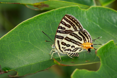 silverline: Image of Club Silverline Butterfly(Cigaritis syama) on a green leaf. Insect. Animal Stock Photo