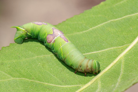 Image of green caterpillar on green leaves. Insect. Animal