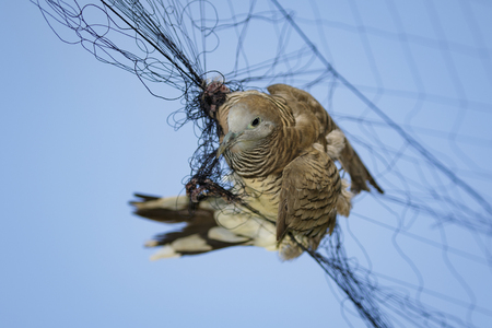 Image of bird(dove) is attached to the net. Animals.