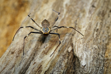 Image of Ornate Orb-weaver spider (Herennia multipuncta) on dry tree. Insect, Animal. Stock Photo