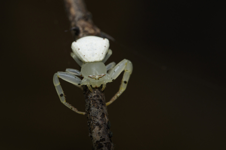 stalker: Image of white crab spider (Thomisus spectabilis) on dry branches. Insect Animal.