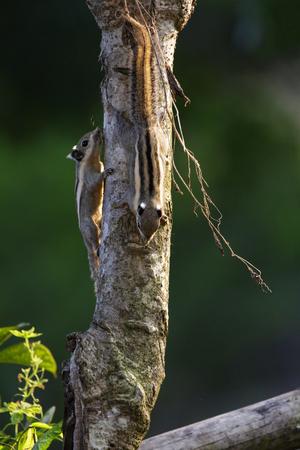 ardilla: Image of Chipmunk small striped rodent on tree. Wild Animals. Foto de archivo