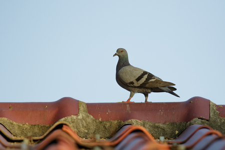 Image of a  pigeons on the roof. Bird, Animal. Stock Photo