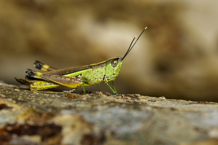 Image of sugarcane white-tipped locust (Ceracris fasciata) on the natural background. Insect. Animal. Caelifera., Acrididae
