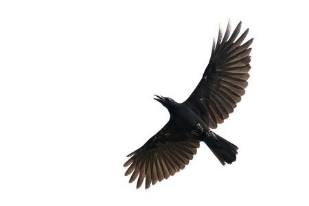 corvus: Image of black crow flying on white background. Animal. Black Bird.