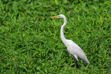 Image of great egret(Ardea alba) on the natural background. White Bird. Animal.