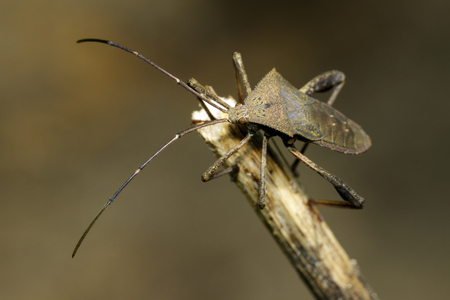 smooth: Image of Leaf-footed Bug(Coreidae) on dry branches. Insect. Animal.