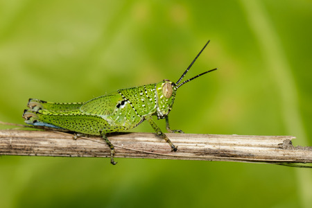 Image of green grasshopper (Acrididae) on dry branches. Insect Animal Stock Photo