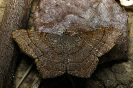 Image of Brown Butterfly Moth (Lasiocampidae) on nature background. Insect, Animal Stock fotó