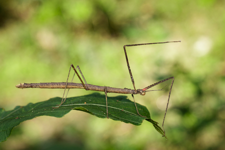 Image of a siam giant stick insect on leaves on nature background. Insect Animal.