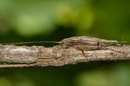 Image of brown cricket(Trigonidiidae) on a brown branch. Insect. Animal.