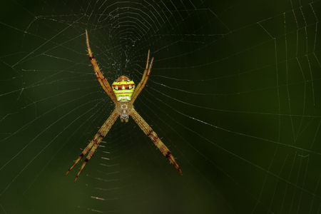 versicolor: Image of multi-coloured argiope spider (Argiope pulchellla) in the net. Insect Animal