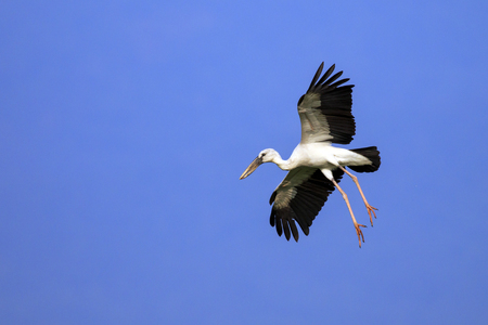Image of an Asian openbill stork(Anastomus oscitans) flying in the sky. Bird, Wild Animals. Banco de Imagens