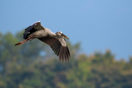 Image of an Asian openbill stork(Anastomus oscitans) flying on the natural background. Bird, Wild Animals.