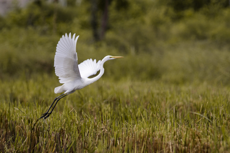 Image of Great Egret(Ardea alba) flying on the natural background. Heron, White Birds, Animal. Imagens