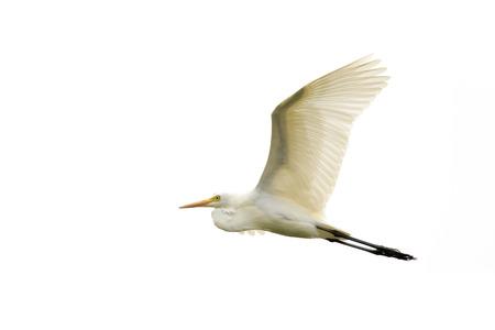 Image of Eastern Cattle egret (Bubulcus coromandus) flying on whitel background. Bird, Wild Animals.