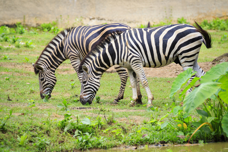 Image of two zebras are eating grass on nature background. Wild Animals. Stock Photo