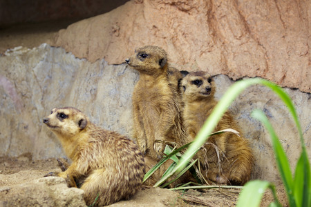 Group of Meerkat (Suricata suricatta) on nature background. Wildlife Animals.