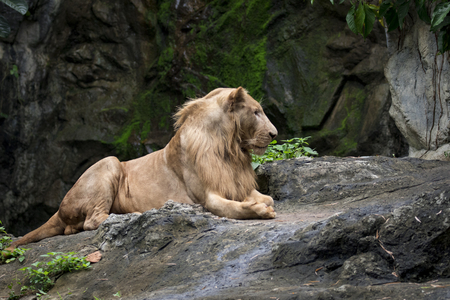 Image of a male lion relax on the rocks. Wildlife Animals.