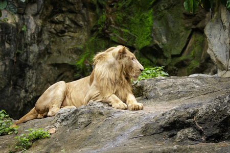 stone lion: Image of a male lion relax on the rocks. Wildlife Animals.