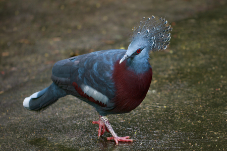 Image of Victoria crowned pigeon on nature background. Bird. Animals. Stock Photo