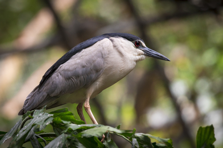striated: Image of Little Heron (Butorides striatus) on nature background. Bird. Animal. Stock Photo