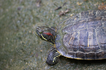 Image of Red-eared slider Turtle (Trachemys scripta elegans) on the floor. Reptile. Animals.