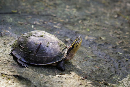 Image of Yellow-headed Temple Turtle on nature background. Reptile. Animals. Stock Photo