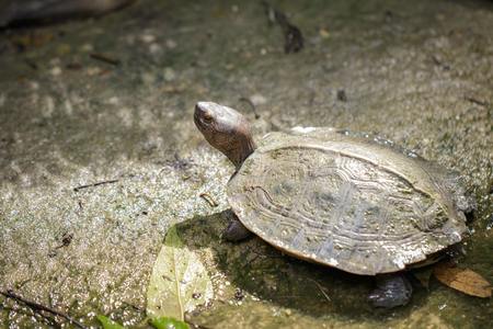 Image of Giant Asian Pond Turtle, Asian Giant Terrapin(Heosemys Grandis) on the floor. Reptile. Animals. Stock Photo