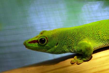 Image of a Madagascar giant day gecko (Phelsuma grandis) on nature background. reptile. Animals.
