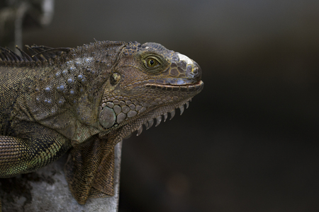 Image of an iguana head on nature background. Reptile. Animals.