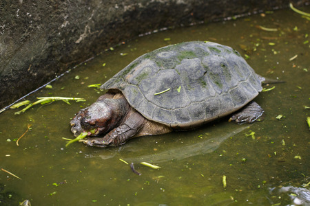 Image of Giant Asian Pond Turtle, Asian Giant terrapin(Heosemys Grandis) on the water. Reptile. Animals.