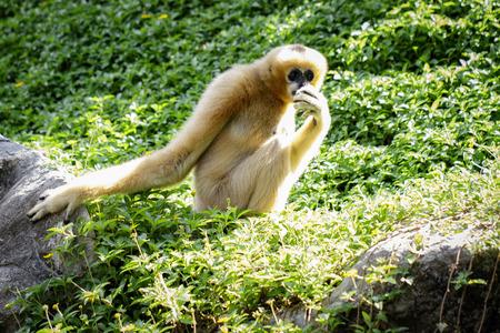 Image of female northern white-cheeked gibbon on nature background. Wild Animals. Stock Photo